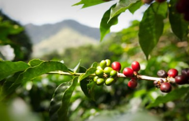 coffee beans tree